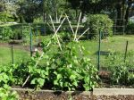 pole bean tepee