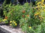 indeterminate-tomato