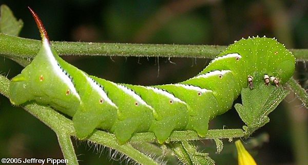 Confirm. was Australia caterpillar found giant xxx