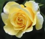 texas-yellow-rose