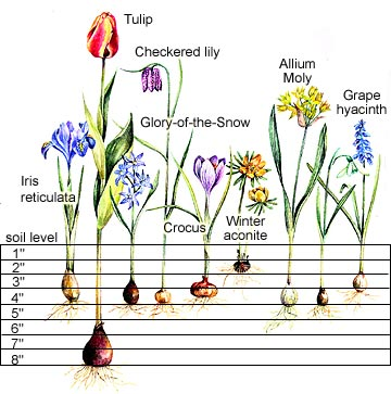 bulb planting chart town country gardening. Black Bedroom Furniture Sets. Home Design Ideas