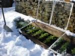 winter turnips