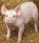 chester pig