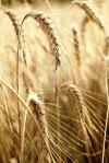 barley a health food