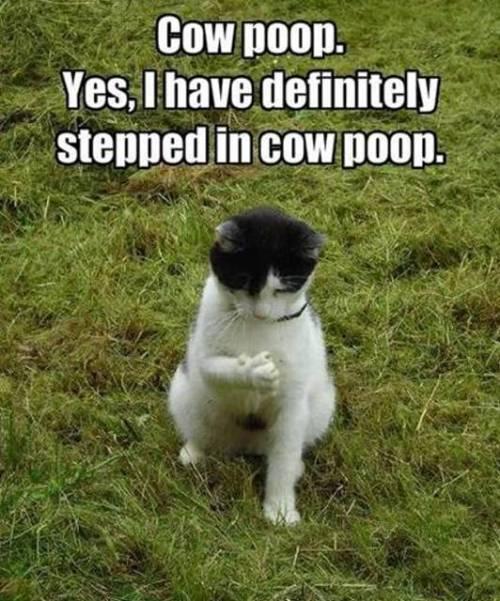 cow-poop
