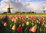 dutch-tulips
