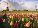 dutch-tulips