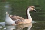 african-goose
