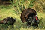 bronze_turkey