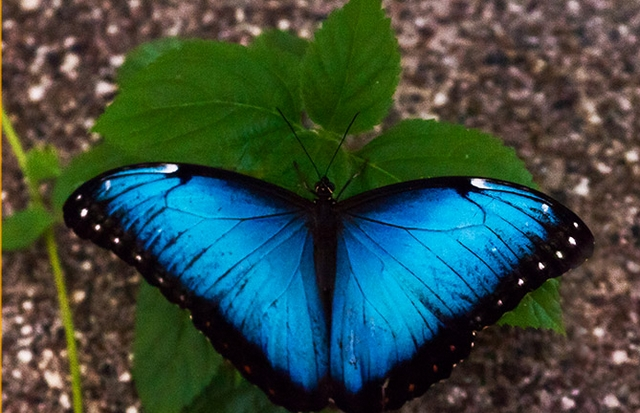 blue butterflies liliesjpg - photo #23