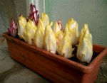 pot-grown-endive1