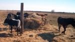 Longhorn cow herd