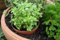 Mint, keep it in a pot! Do Not plant directly in garden soil