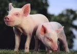 Blue butt pigs