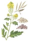 mustard plant-seeds