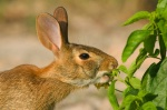 rabbit eating pepper plant