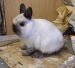 dwarft rabbit
