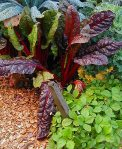 growing-swiss-chard