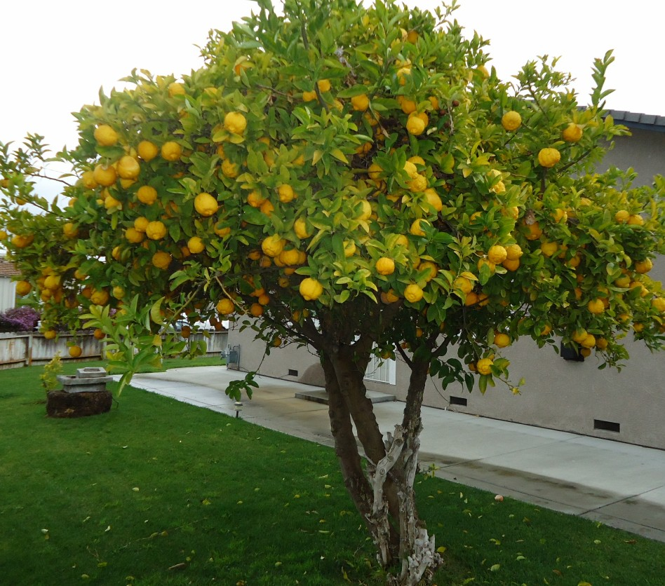 Growing Lemon Trees In Containers Or In Your Garden