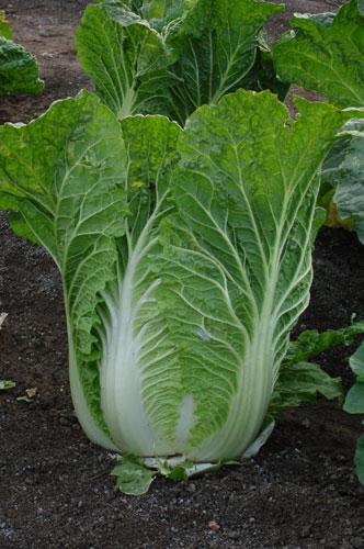 Cabbage Asian 49