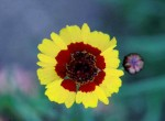 red eyed coreopsis