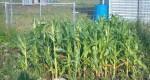 corn may 2015
