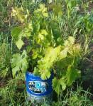 grape vine 2015