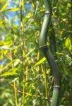Phyllostachys aureosulcata 'Alata'