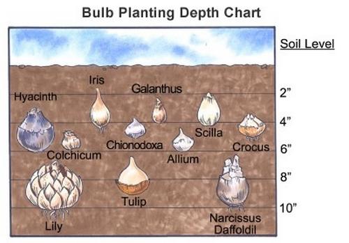 bulb-planting-chart